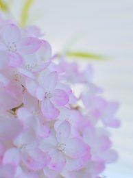 紫陽花の水無月が美しすぎ